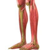 Человеческая анатомия тела мышцы (ноги) Стоковые Фотографии RF