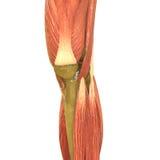 Человеческая анатомия тела мышцы (ноги) Стоковое Фото