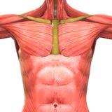 Человеческая анатомия тела мышцы Стоковое Изображение RF