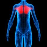 Человеческая анатомия тела мышцы Стоковое Изображение