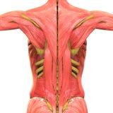 Человеческая анатомия тела мышцы Стоковое фото RF