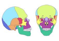 Человеческая анатомия черепа, иллюстрация штока