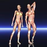 Человеческая анатомия Стоковое Фото