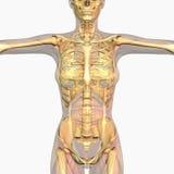 Человеческая анатомия Стоковые Фотографии RF