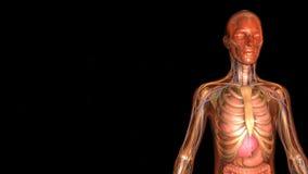 Человеческая анатомия иллюстрация вектора
