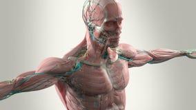 Человеческая анимация анатомии показывая голову и торс иллюстрация вектора