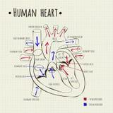 Человеческая диаграмма сердца Стоковые Фотографии RF