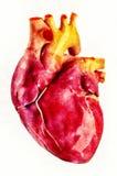 Человеческая иллюстрация анатомии сердца Стоковое Изображение