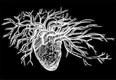 Человеческая иллюстрация вектора сердца Стоковая Фотография