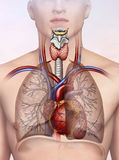 Человеческая иллюстрация дыхательной системы Стоковые Изображения RF