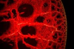 Человеческая кровь Стоковые Фотографии RF