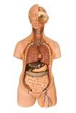 Человеческая модель анатомии стоковые изображения rf