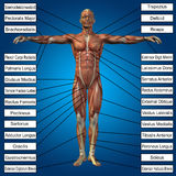 человеческая мужская анатомия 3D с мышцами и текстом Стоковое Изображение RF
