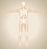 Человеческая (мужская) лимфатическая система Стоковые Фото
