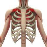 Человеческая лопатка с нервюрами Стоковая Фотография RF