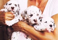 Человеческая рука держа много щенят далматинский Стоковое фото RF