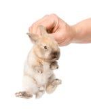 Человеческая рука держа newborn кролика Изолированный на белом backgroun Стоковая Фотография