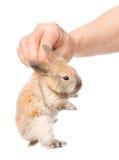 Человеческая рука держа newborn кролика Изолировано на белизне Стоковое Изображение RF