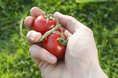 Человеческая рука с томатами на зеленой предпосылке Стоковое Изображение