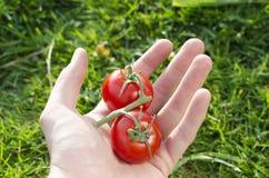 Человеческая рука с томатами на зеленой предпосылке Стоковая Фотография RF