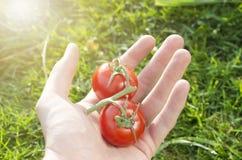 Человеческая рука с томатами Стоковые Изображения