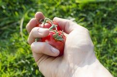 Человеческая рука с томатами Стоковая Фотография