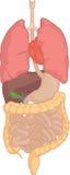 Человеческая часть тела - изолированные органы тела Стоковые Изображения
