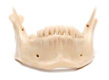 Человеческая челюсть на белой предпосылке Стоковые Изображения RF