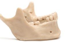 Человеческая челюсть на белой предпосылке Стоковое Изображение