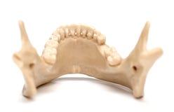 Человеческая челюсть на белой предпосылке Стоковое Фото