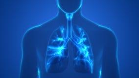 Человеческие легкие внутри гортани анатомии, трахеи, бронхиолов Стоковое фото RF