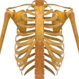 Человеческие нервюры с косточками лопатки Стоковые Фотографии RF