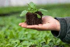 Человеческие руки держа молодой завод с почвой над запачканной предпосылкой природы Саженец CSR дня мировой окружающей среды экол Стоковые Фото