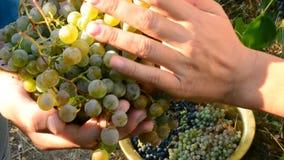 Человеческие руки собирая виноградины акции видеоматериалы