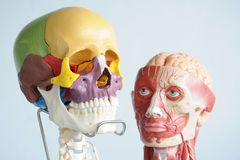 Человеческие череп и голова Стоковое Изображение