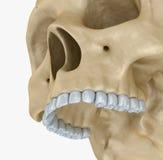 Человеческий изолированный скелет черепа, Стоковое Фото
