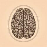 Человеческий мозг Взгляд сверху Иллюстрация штока