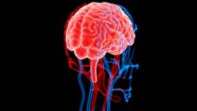 Человеческий мозг с нервами, венами и анатомией артерий Стоковое Изображение