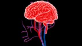 Человеческий мозг с нервами, венами и анатомией артерий Стоковое Изображение RF