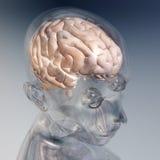 Человеческий мозг Стоковое Изображение RF