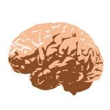 Человеческий мозг Стоковые Изображения RF