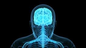 Человеческий мозг иллюстрация вектора
