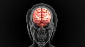 Человеческий мозг Стоковое Фото