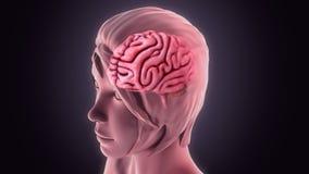 Человеческий мозг Стоковые Фотографии RF