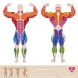 Человеческий мышечный взгляд системы, анатомии, заднего и anterior, иллюстрация штока