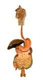 Человеческий пищеварительный тракт Стоковые Фото