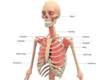 Человеческий скелет с анатомией легких Стоковое Изображение