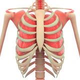 Человеческий скелет с легкими бесплатная иллюстрация