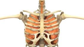Человеческий скелет с легкими Стоковое Изображение RF