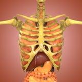 Человеческий скелет с органами (легкими, печенью, большим и тонкая кишка с почками) иллюстрация штока